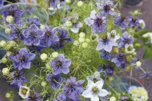 Love in a Mist's delicate, jewel-like flowers nest among finely divided threadlike bracts.