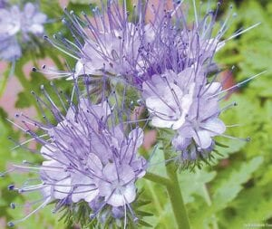 Lacy phacelia is a native lavender- blue whiskery wildflower that entices a large number of pol l inator s and benef icial insects.